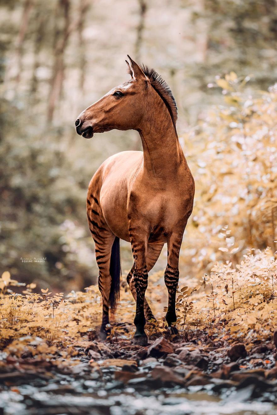 Зеброид: необычная и очень редкая лошадь