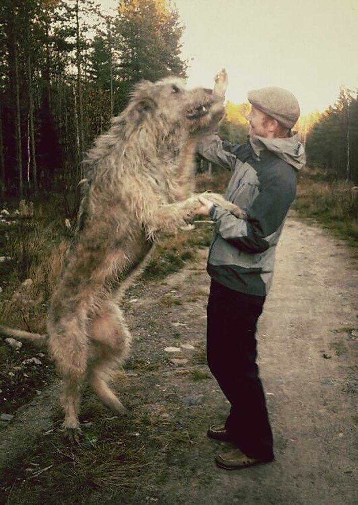 смешные фото волкодавов
