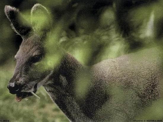 Кабарга — олень с клыками вампира Интересное