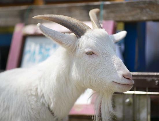 70% всего красного мяса, съедаемого людьми во всём мире — козлятина