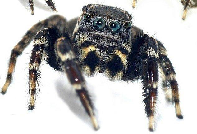 Арахнофобы, отвернитесь: обнаружены 5 новых видов пауков-скакунов                      Интересное