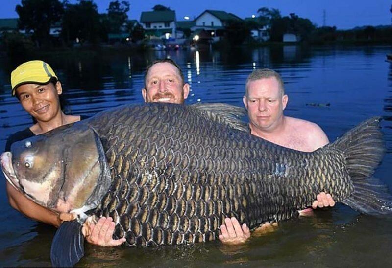 В Таиланде рыбак из Британии выловил самого большого в мире карпа весом 105 кг                      Интересное