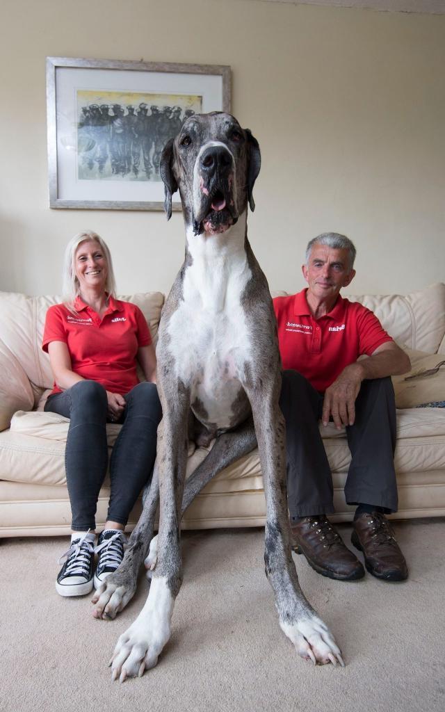 Гигантские собаки, в существование которых трудно поверить: реальные снимки и никакого фотошопа