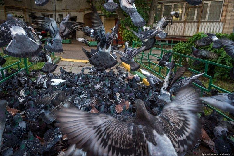 Голуби - это же летающие крысы-4 фото + 1 гиф-