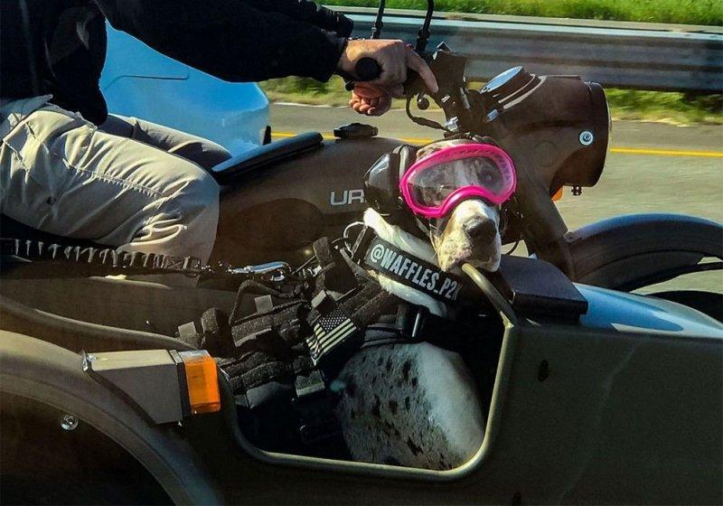 Дог со своим хозяином колесит по Калифорнии в коляске мотоцикла -Урал--9 фото + 2 видео-
