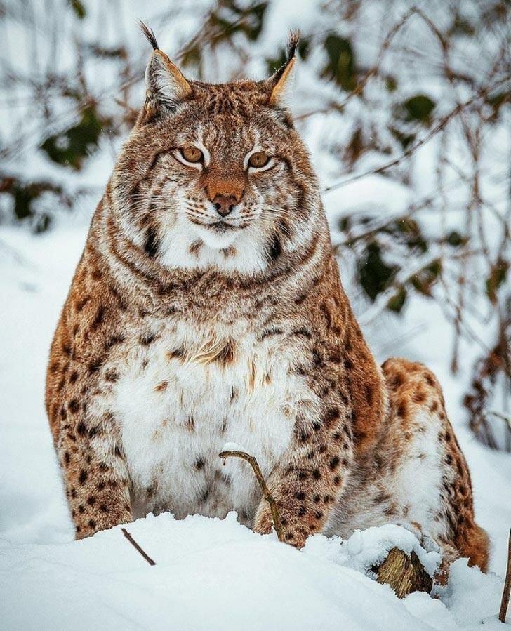 18 толстых котов, которым стоит сесть на диету                      Интересное