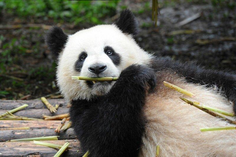 Интересные факты о пандах                      Интересное