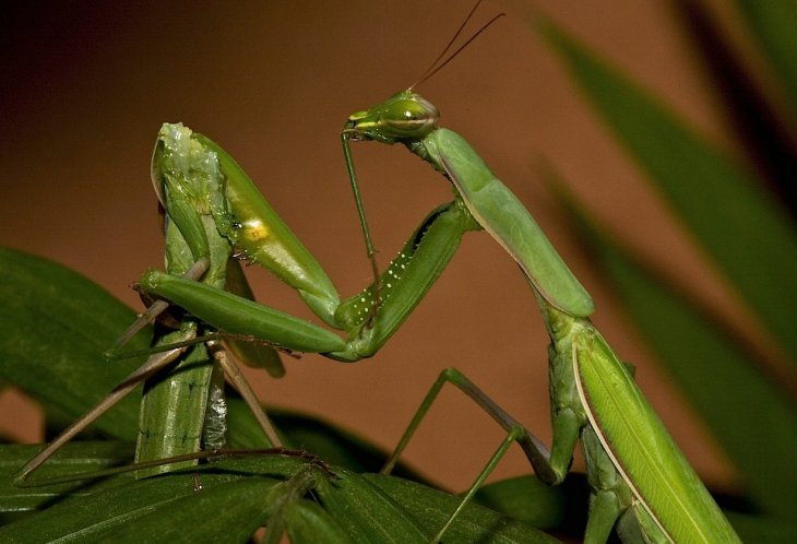 Каннибализм в природе в период спаривания