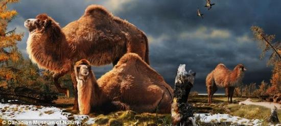 3,5 млн лет назад в Арктике обитали гигантские лохматые верблюды Интересное