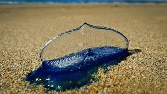 Фиолетовая медуза использует своё тело в качестве паруса, чтобы путешествовать с помощью ветра