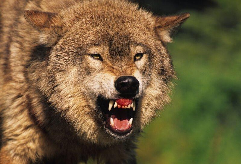 Почему волки не выступают в цирке?-4 фото-