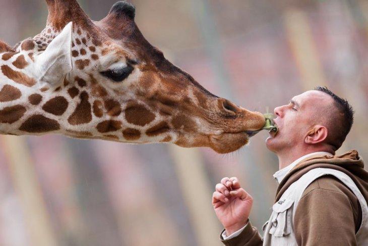 Особая связь между человеком и жирафом