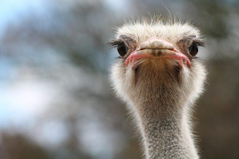 Правда ли, что страусы прячут голову в песок?-3 фото-