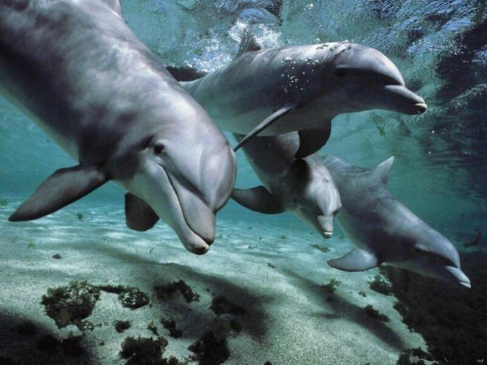 Почему акулы боятся дельфинов? -2 фото-