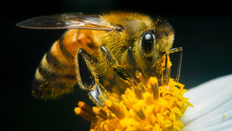 Подробно о лечении пчелиным ядом