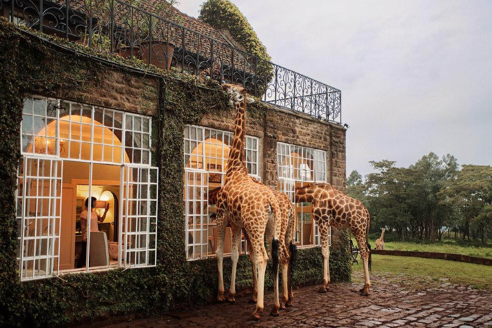 Обед с жирафом