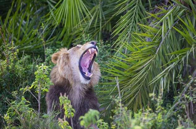 Лев сначала рычит, а потом улыбается фотографу Интересное