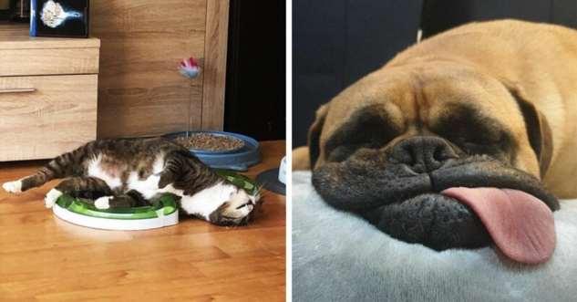 20 животных, которые решили вздремнуть и повеселили всех вокруг (21 фото)