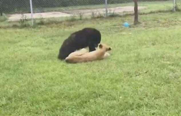 Медвежонок поборол львёнка, а затем напал на управляющего питомника