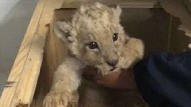 Мексиканские полицейские нашли внутри посылки львенка  Интересное