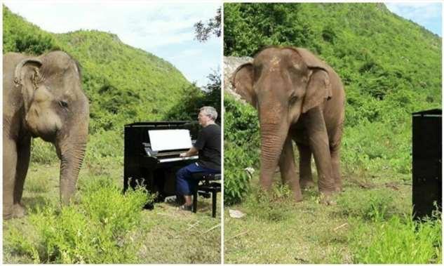 Чудесная реакция слепой слонихи на звуки пианино