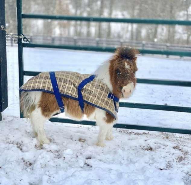 Марта — лошадка, размером с золотистого ретривера Интересное