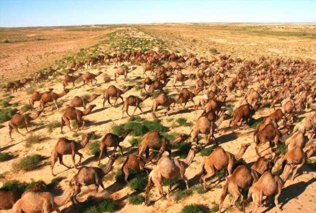 «Слишком много пьют!»: на севере Австралии убьют около десяти тысяч диких верблюдов (4 фото) животных, верблюдов, животные, власти, местных, пресной, страны, Австралии, сейчас, отстрелу, штате, продлится, пытаются, попасть, ломают, кондиционеры»Операция, вертолетов, около, Планируется, уничтожать