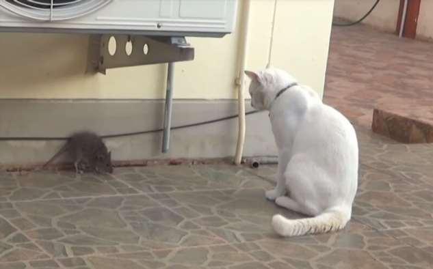Смелая крыса не подпустила к себе любопытного кота  Интересное