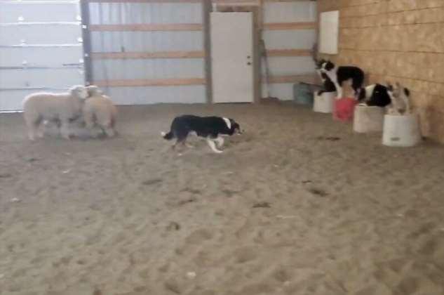 Пастушьи собаки c полуслова понимают команды хозяина  Интересное