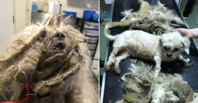 У брошенной собаки состригли 1,8 кг грязной шерсти
