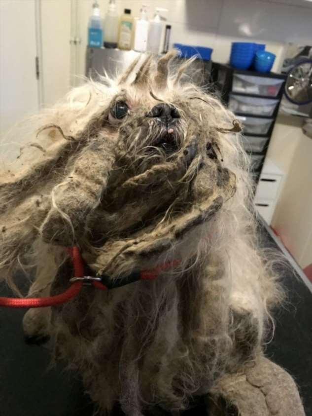 У брошенной собаки состригли 1,8 кг грязной шерсти Интересное
