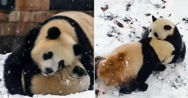 Снежные игры очаровательных панд в заповеднике