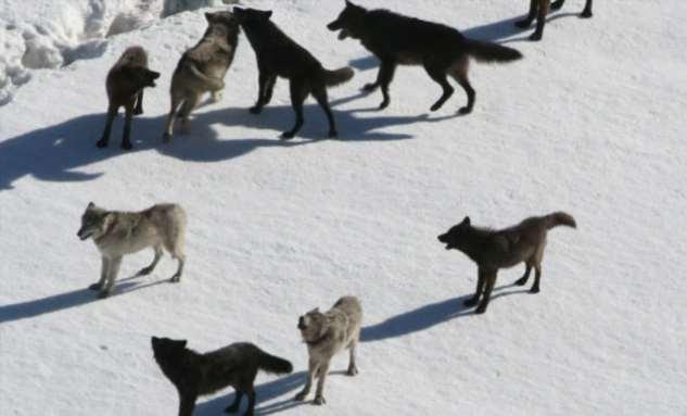 Устройство волчьей стаи Интересное