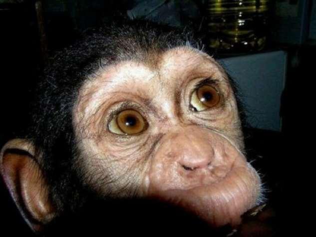 От шимпанзе отказалась мама, но его усыновили