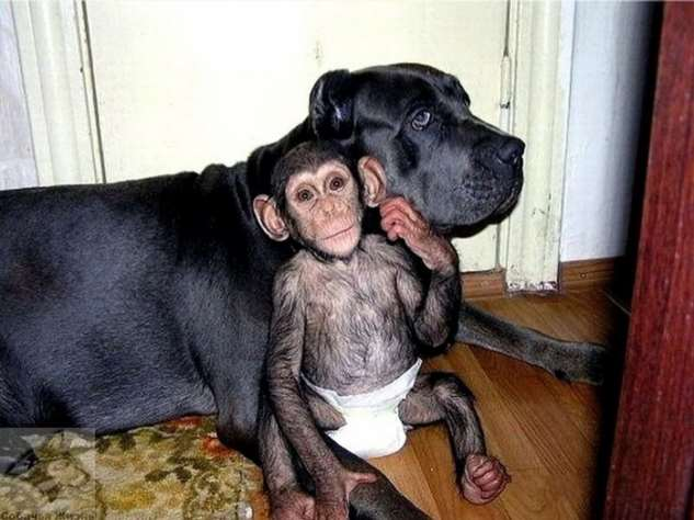 От шимпанзе отказалась мама, но его усыновили (8 фото) шимпанзе, только, этого, решил, Жизнь, новыми, заменить, сумела, обедСобакамама, совместный, выглядел, примеру, сестричкамиА, братиками, сводными, поладил, своими, окружила, отлично, малыш