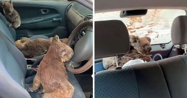 Австралийские парни спасают коал из пожара