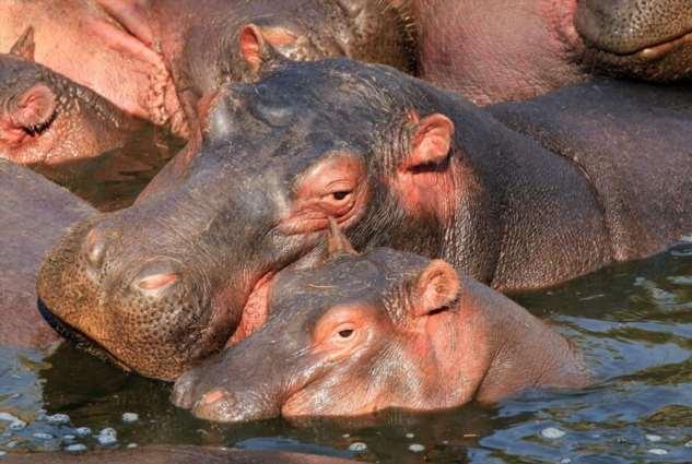Бегемоты Эскобара живы, плодятся и по-прежнему ведут свои грязные дела в Южной Америке  Интересное