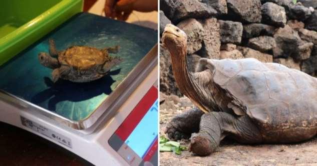 Гигантская черепаха спасла вид от вымирания