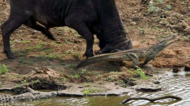 Крокодил встал на пути разгневанного буйвола  Интересное