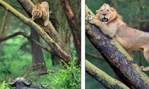 Льву прошлось отсиживаться на дереве из-за стада буйволов