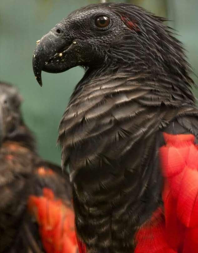 Попугай «Дракула»: страшный и красивый одновременно  Интересное