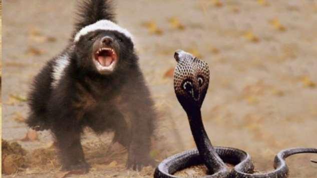 Медоед — самый неуязвимый и бесстрашный зверь на планете  Интересное