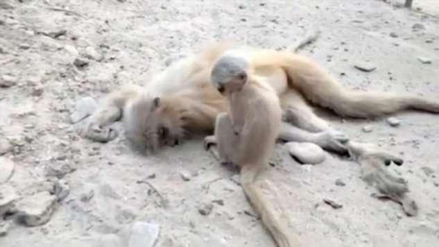 Трагические кадры — маленькая обезьянка пытается разбудить погибшую мать Интересное