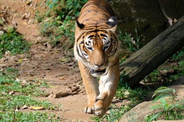 Подвиды самой красивой кошки (7 фото) tigris, территории, Panthera, природе, около, дикой, подвид, особей, тигров, живет, самый, тигра, более, части, Индии, составляет, тигры, только, встречается, также