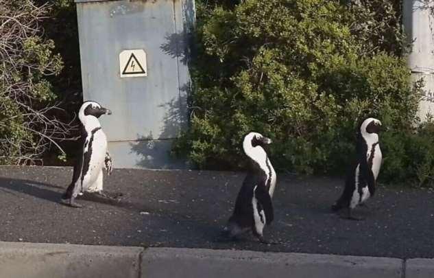 Пингвины прогулялись по пустынной из-за карантина улице Кейптауна  Интересное