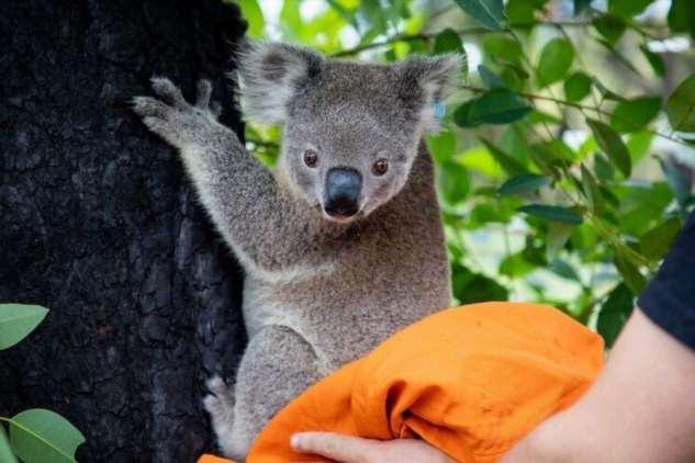 Австралийских коал, пострадавших от пожаров, начали выпускать обратно в лес  Интересное
