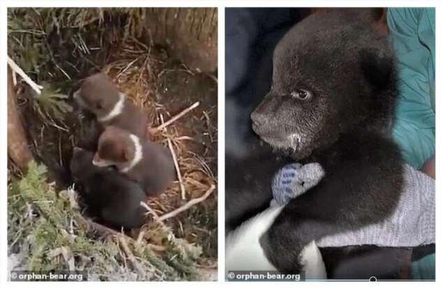 Спасатели из Твери проехали 3000 км, чтобы забрать в приют брошенных медвежат  Интересное