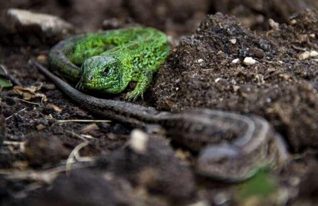 Прыткая ящерица, сладкая парочка  Интересное