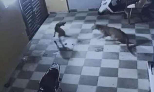 Собака чуть не стала добычей голодного леопарда  Интересное