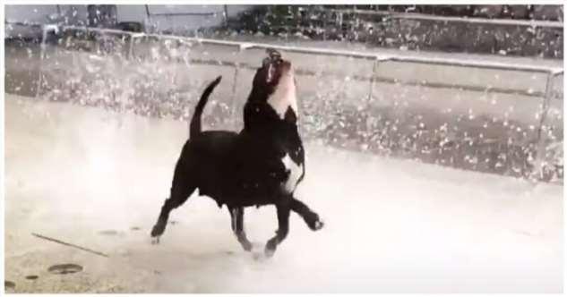 Довольная собака ловит струи воды фонтана  Интересное